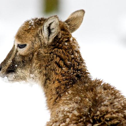Shy mouflon