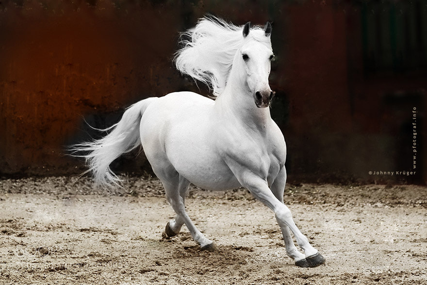 Photograph Andalusian Stallion by Johnny Krüger on 500px