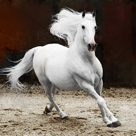 Andalusian Stallion by Johnny Krüger (johnpull)) on 500px.com