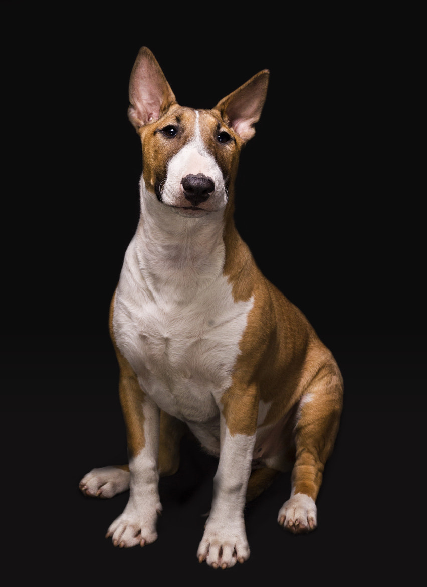 Photograph English bull terrier by Mark Faulkner on 500px
