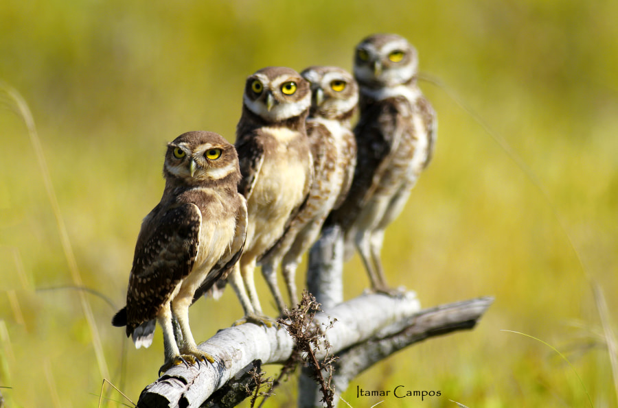 Family owl  portrait! by Itamar Campos on 500px.com
