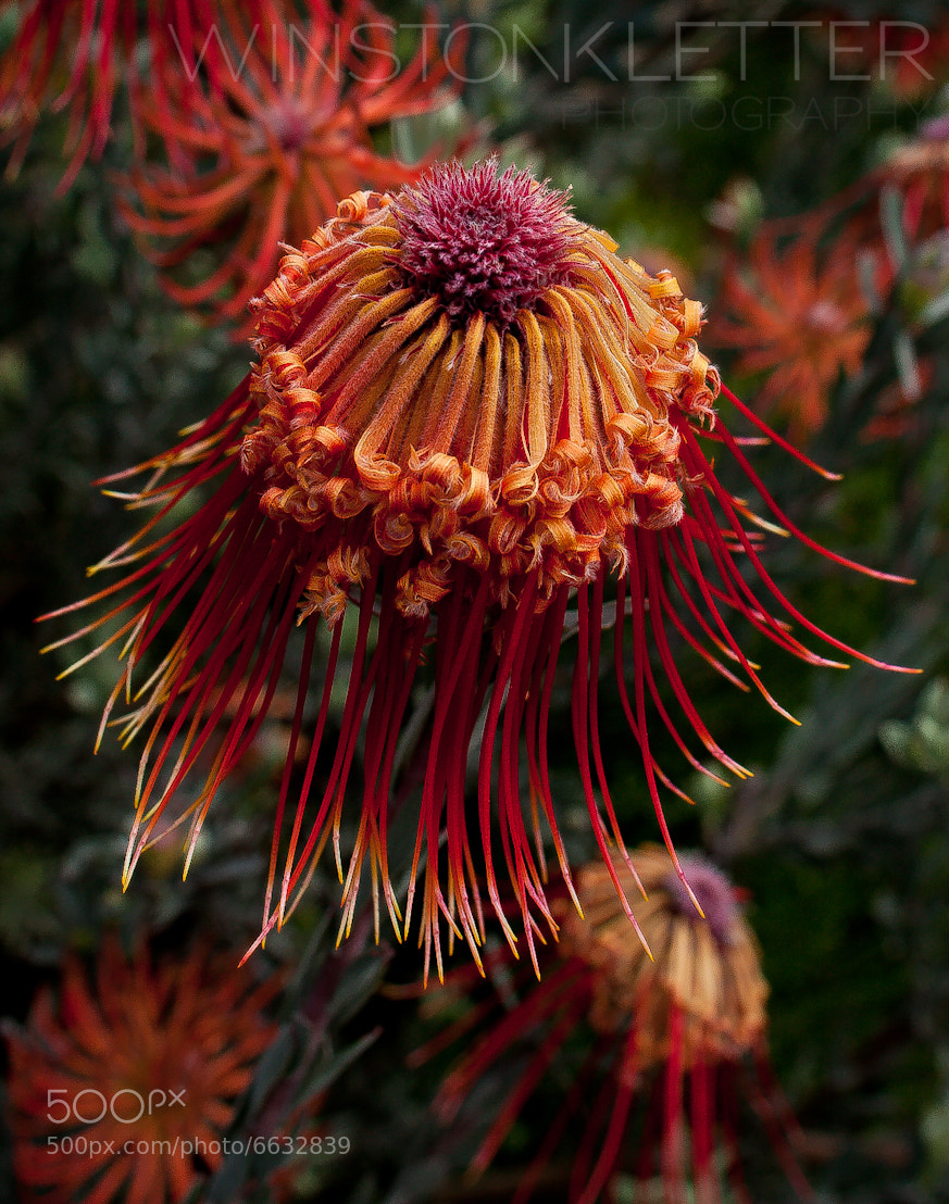 Photograph Protea, Cape Town, South Africa by Winston Kletter on 500px