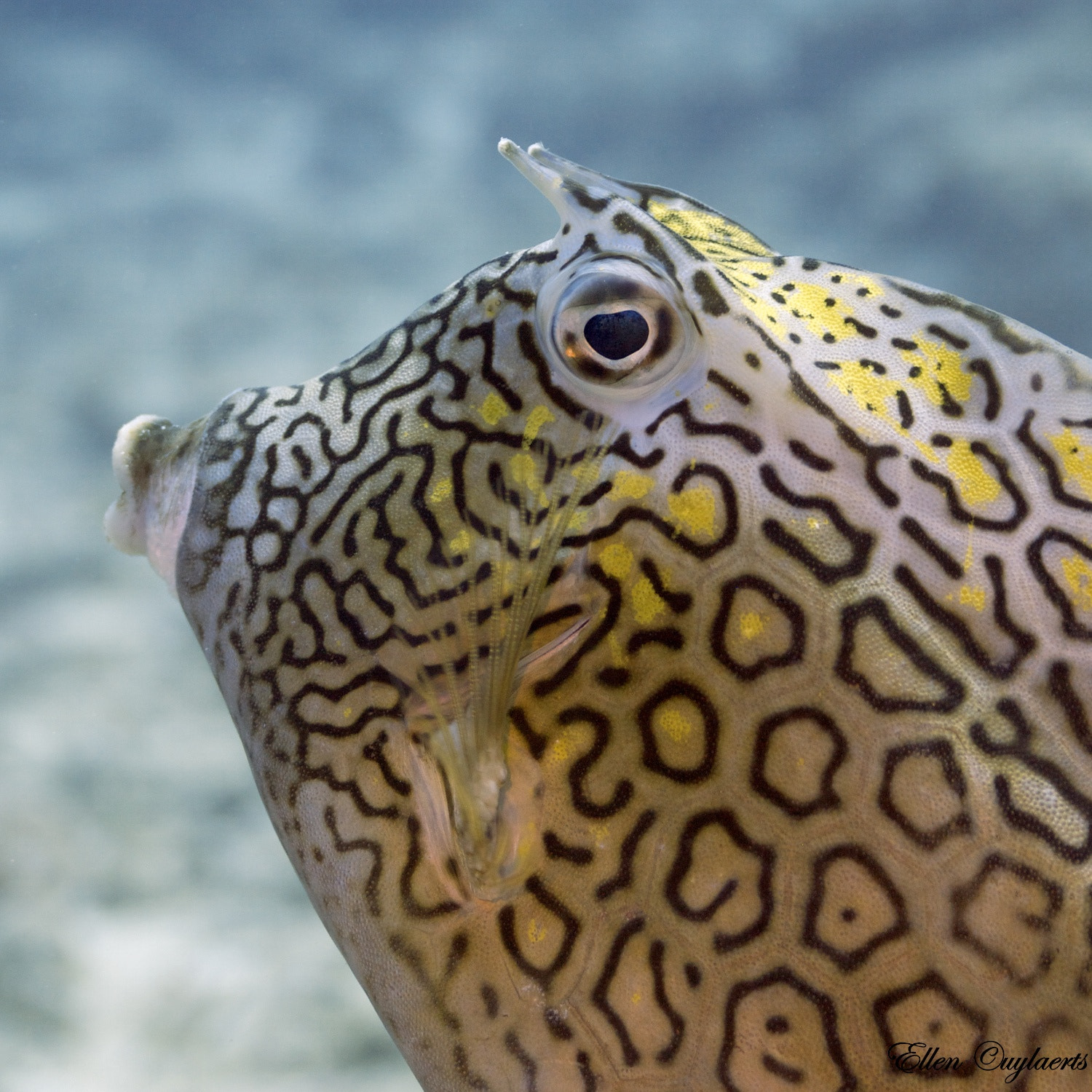 Photograph A Sunday kiss from a Cowfish;-) by Ellen Cuylaerts on 500px