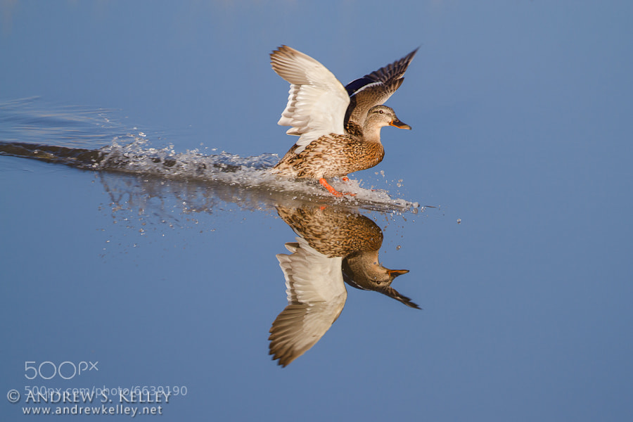 Photograph Mallard Touchdown by Andrew Kelley on 500px