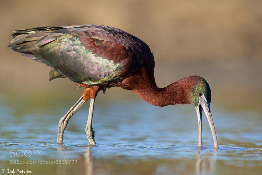 Photograph Glossy ibis by Isak Pretorius on 500px