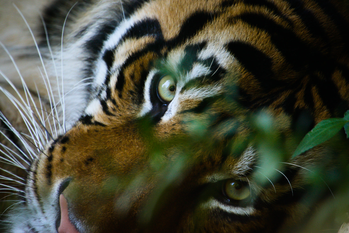Photograph Eye of the Tiger by Philipp Wedel on 500px