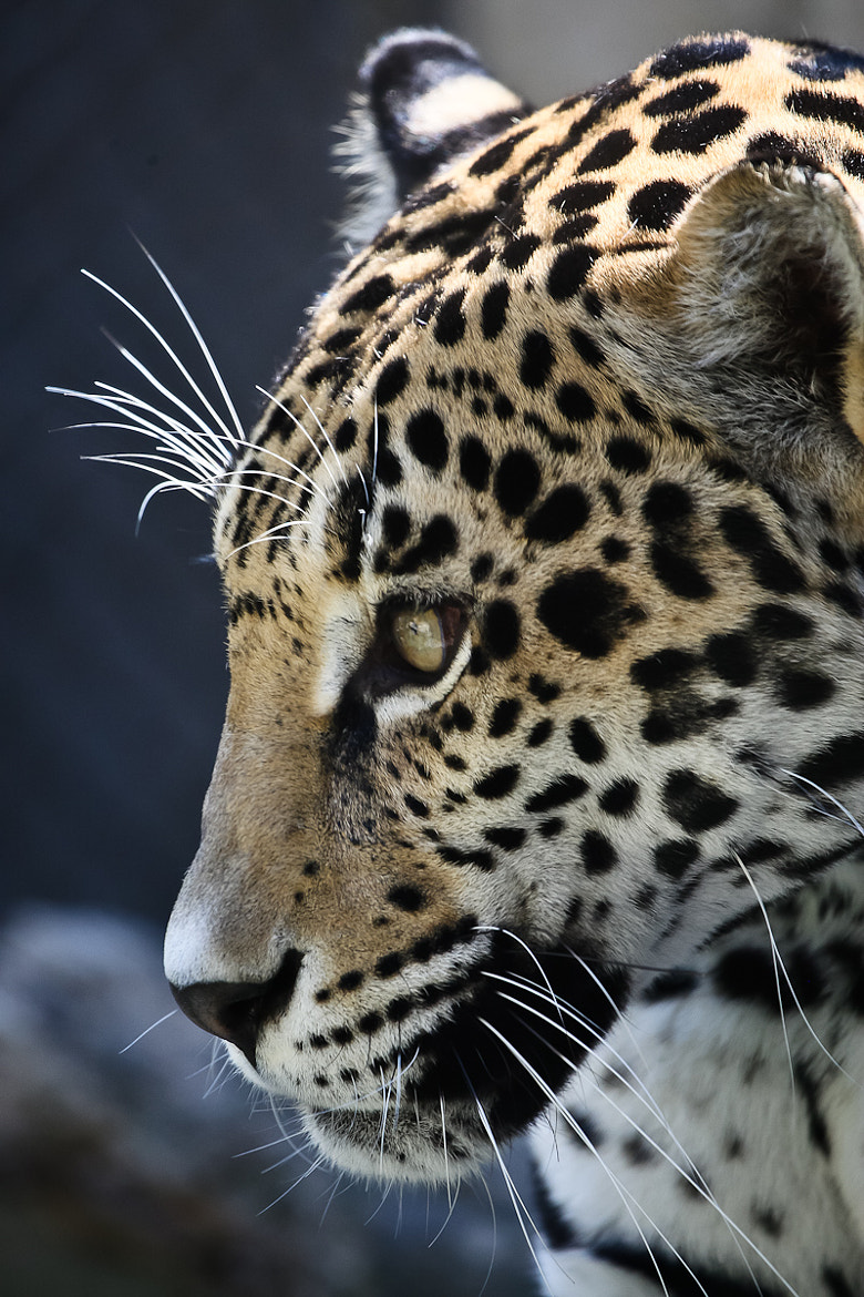 Photograph Leopard by Philipp Wedel on 500px