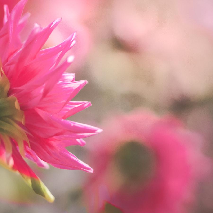 Pink I