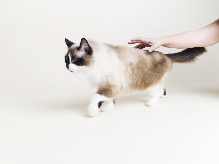 Nada, a great cat who I recently got to photograph. Super model, especially for a cat.