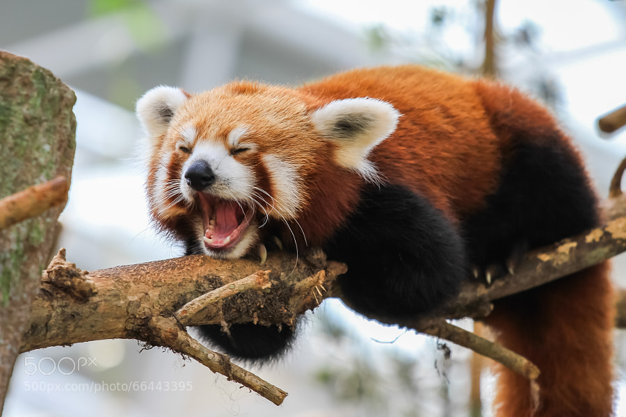 Photograph Yawning Red Panda by Swee Meng Seow on 500px
