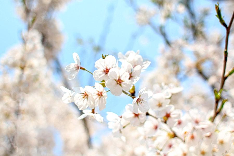 Cherry Blossoms by Jaehyun Ko on 500px.com