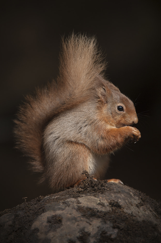 Photograph Red Squirrel by Andy Astbury on 500px
