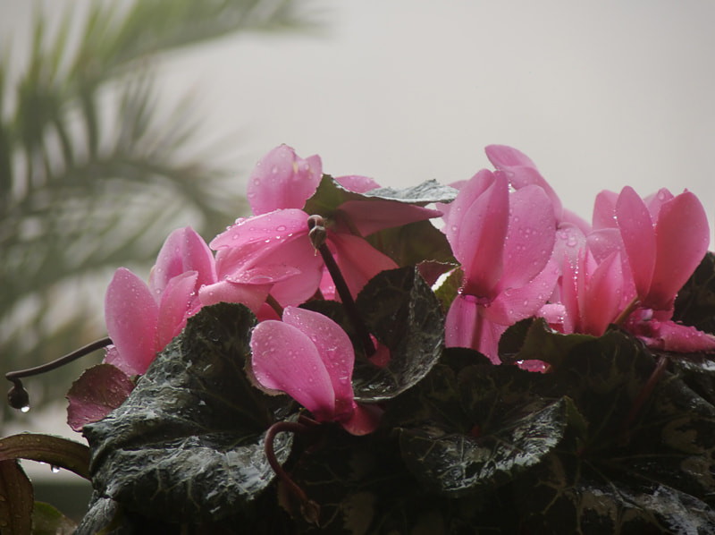 Photograph Cyclamens by Ada Panich on 500px