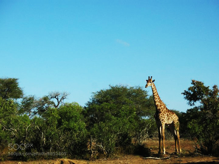 Photograph Giraffe is Curious by Harriet Knight on 500px