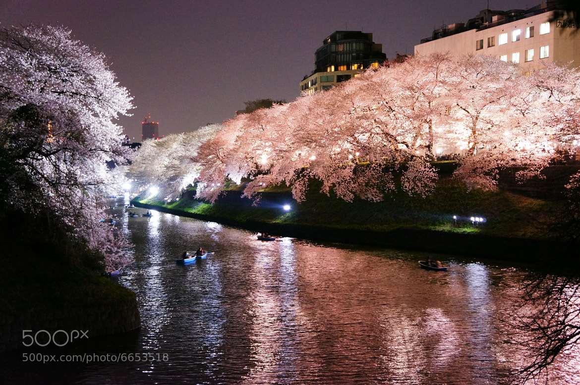 Photograph cherry blossom at night by shuso itaoka on 500px