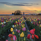 Постер, плакат: Tulip Farm Field at Sunset