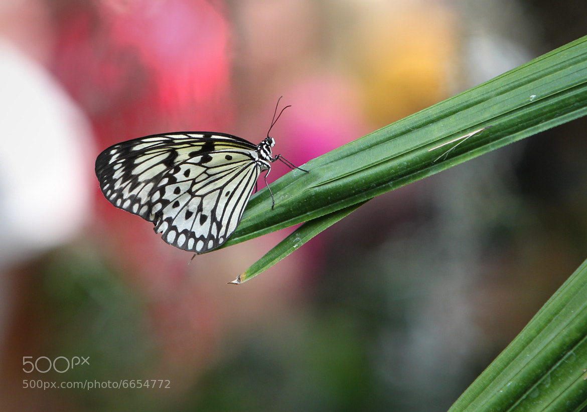 Photograph Butterfly by Noah M on 500px