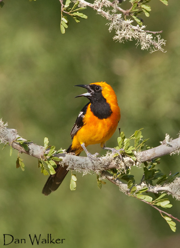 Photograph Hooded Oriole by Dan Walker on 500px