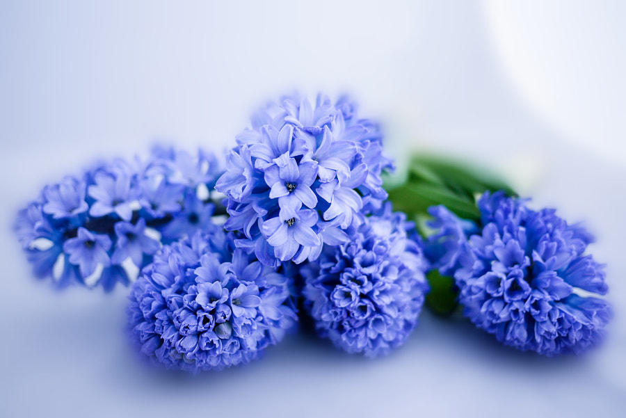 Photograph Blue Hyacinth by Wei-San Ooi  on 500px