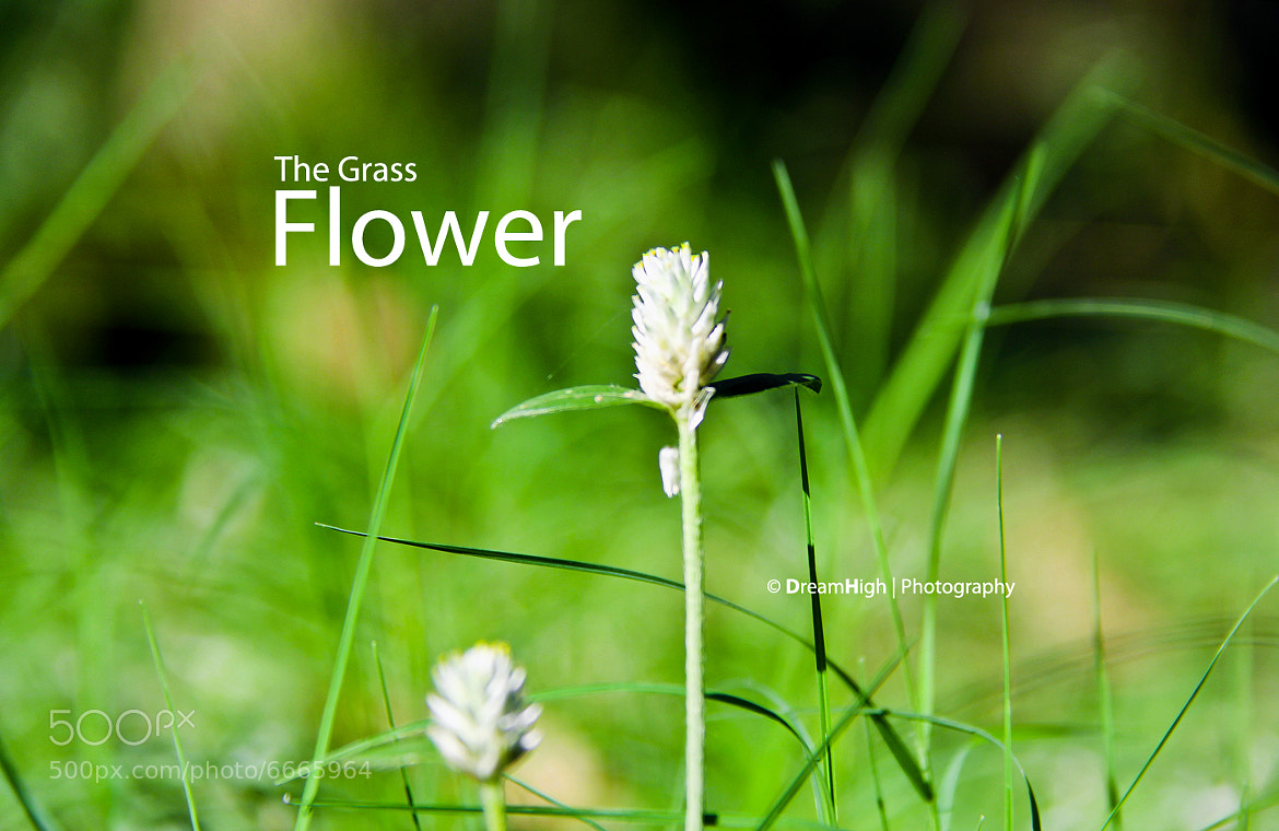 Photograph The Grass Flower by DreamHigh (Sambath) on 500px