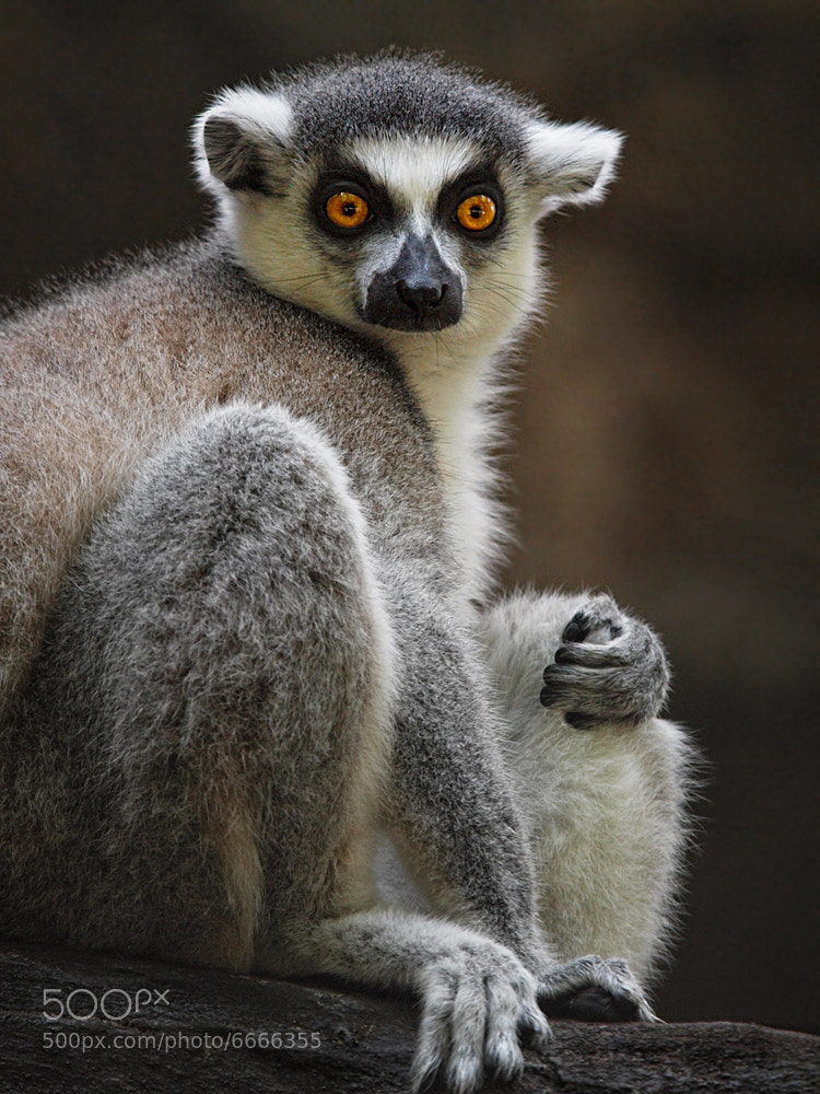 """Photograph """"Maurice, my arm is tired. Wave it for me"""". ~King Julien by Irawan Subingar on 500px"""