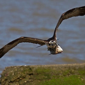 Osprey With Fish by Lorraine Hudgins (lorrainehudgins)) on 500px.com