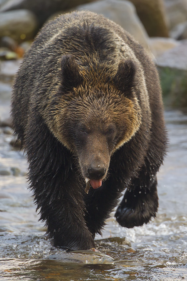 Photograph Bear by Peter Edge on 500px