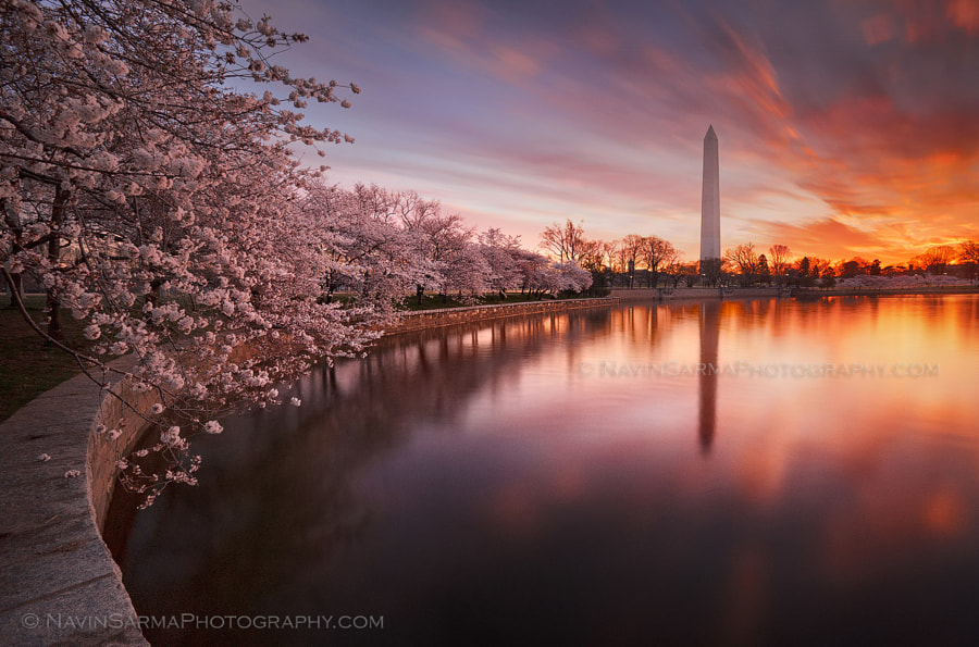 Photograph Awakening - Cherry Blossom Sunrise by Navin Sarma on 500px