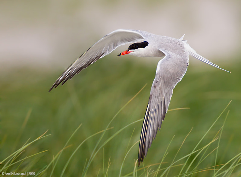Photograph Common Tern by Axel Hildebrandt on 500px