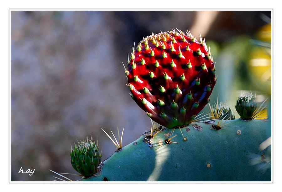 Photograph Les fleurs des champs : 05 Opuntia ficus-indica by HUSEYIN AY on 500px