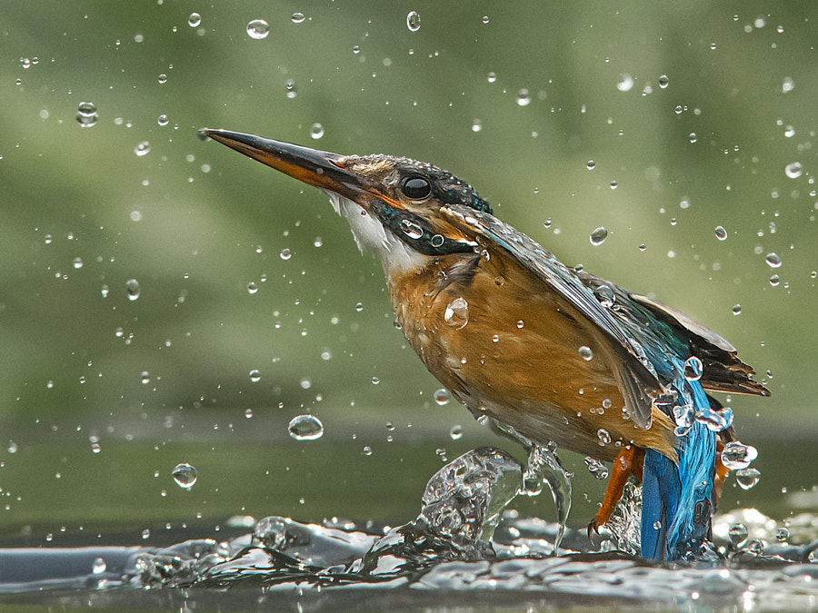 Missed again - common kingfisher by Jamie MacArthur on 500px.com