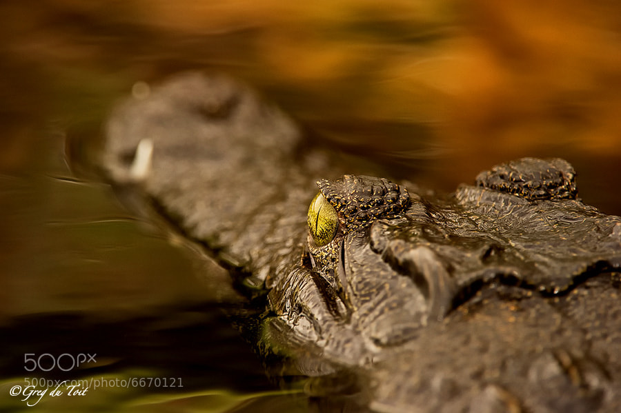 Serendipitous Crocodile by Greg du Toit