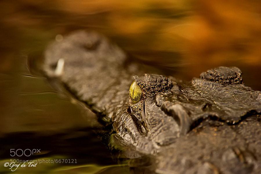 Serendipitous Crocodile by Greg du Toit