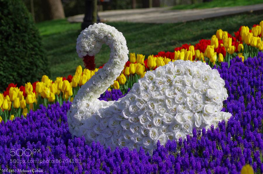 Photograph swan model by Mehmet Çoban on 500px