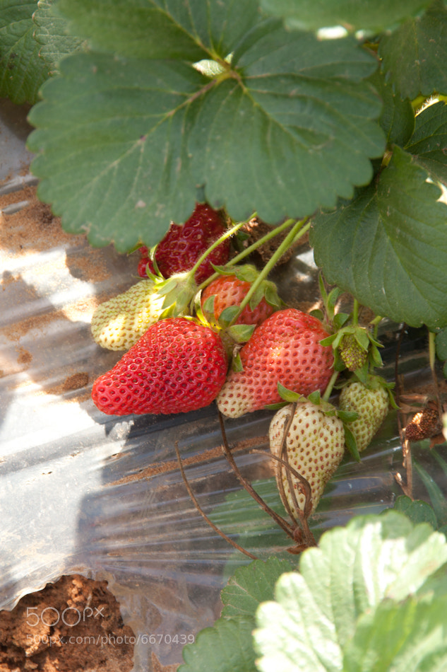 Photograph strawberries by shoval avitov on 500px