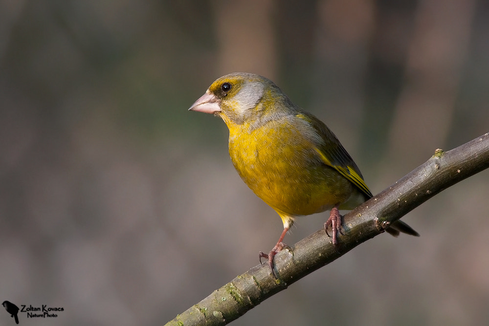 Photograph Greenfinch (Carduelis chloris) by Zoltan Kovacs on 500px