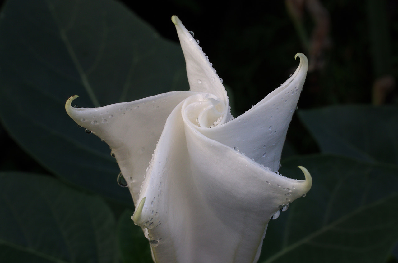 Photograph Jimson Weed by Francisco Marty on 500px