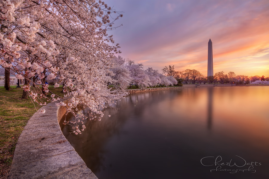 Cherry Blossoms DC by Chez Watts on 500px.com