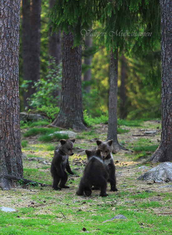 Dancing bears by Valtteri Mulkahainen on 500px.com