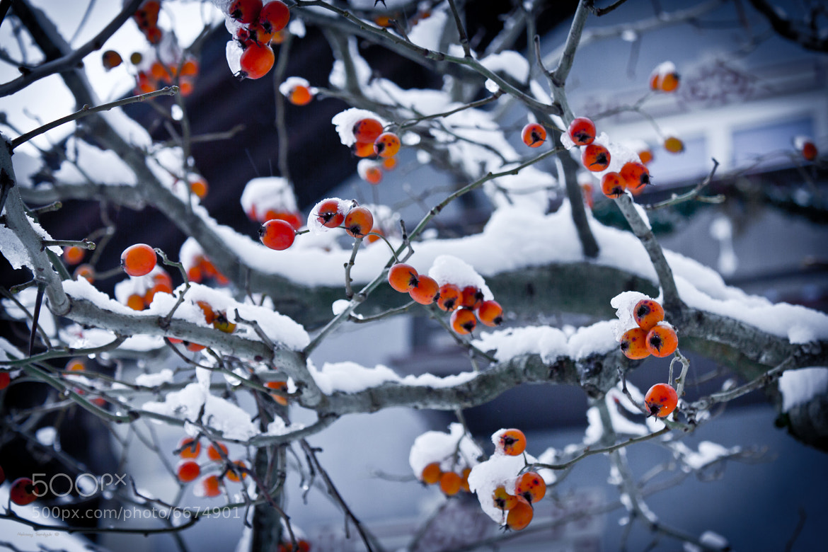 Photograph Rowan in the snow by Aleksey Serdyuk on 500px