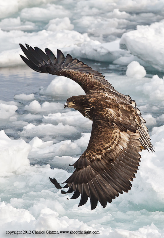 Photograph White-tailed Sea Eagle by Charles Glatzer on 500px