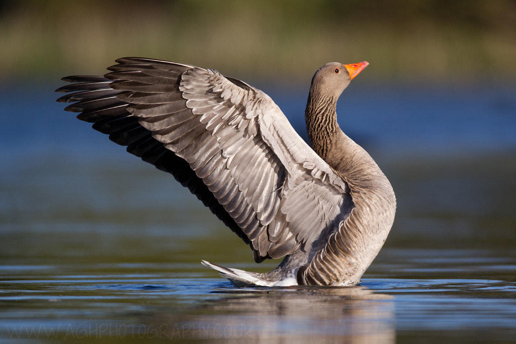 Photograph Greylag Goose by Tony House on 500px