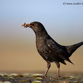 a beak full of worms...