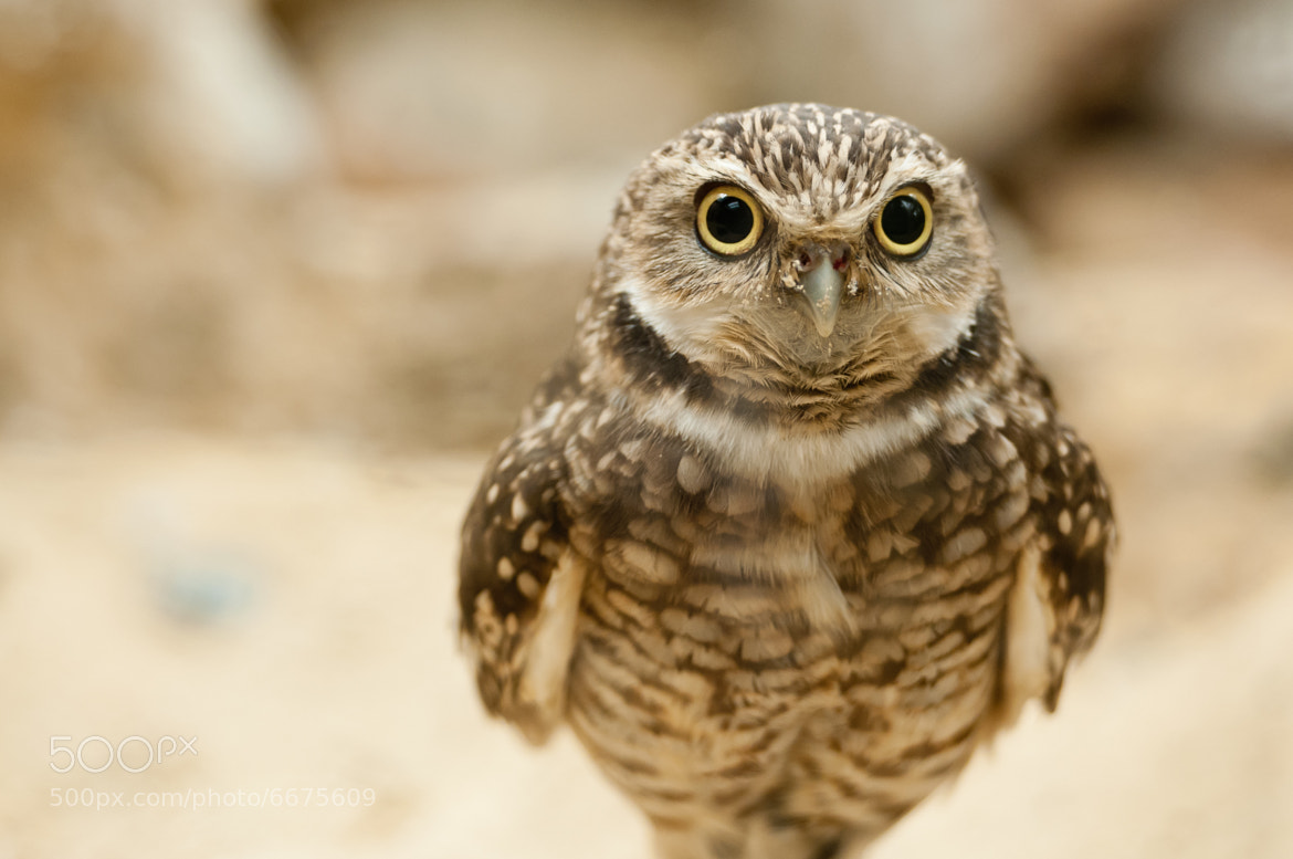 Photograph Baby Burrowing Owl by Ryan Liu on 500px