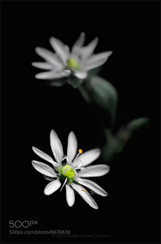 Photograph Stellaria media by Yuriy Sizov on 500px