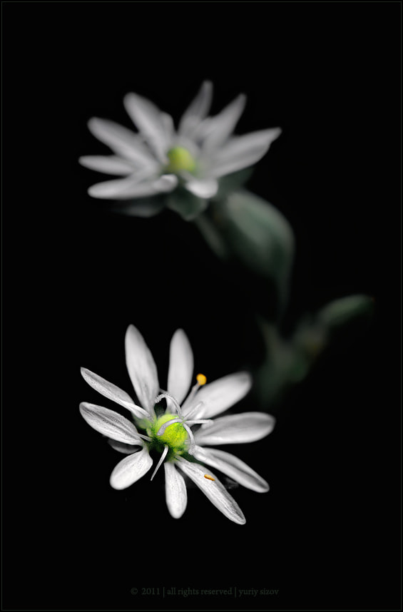 Photograph Stellaria media by Yuriy Sizov on 500px