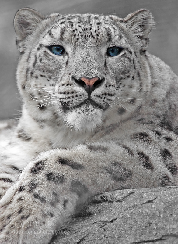 Photograph Snow Leopard Portrait by Tom Hadley on 500px