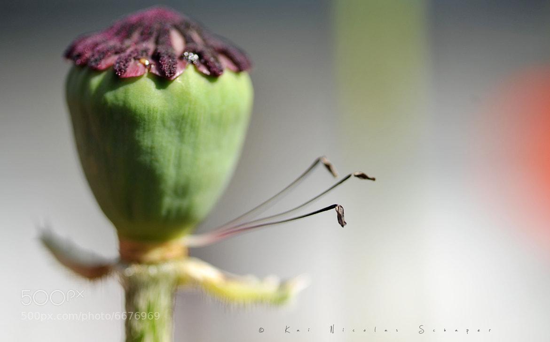 Photograph Poppy by Kai Nicolas  Schaper on 500px