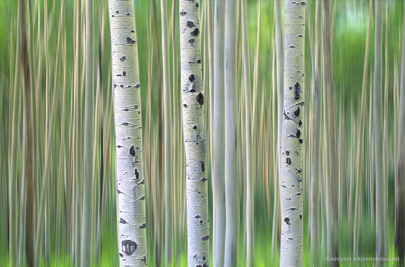 Photograph Colorado Aspens by Anush Krishnaswami on 500px