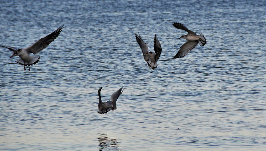 Dance of the seagulls